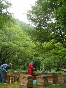 This photo,courtesy of Saori Ito, shows the apiary in Engaru where Mystar sources its honey.