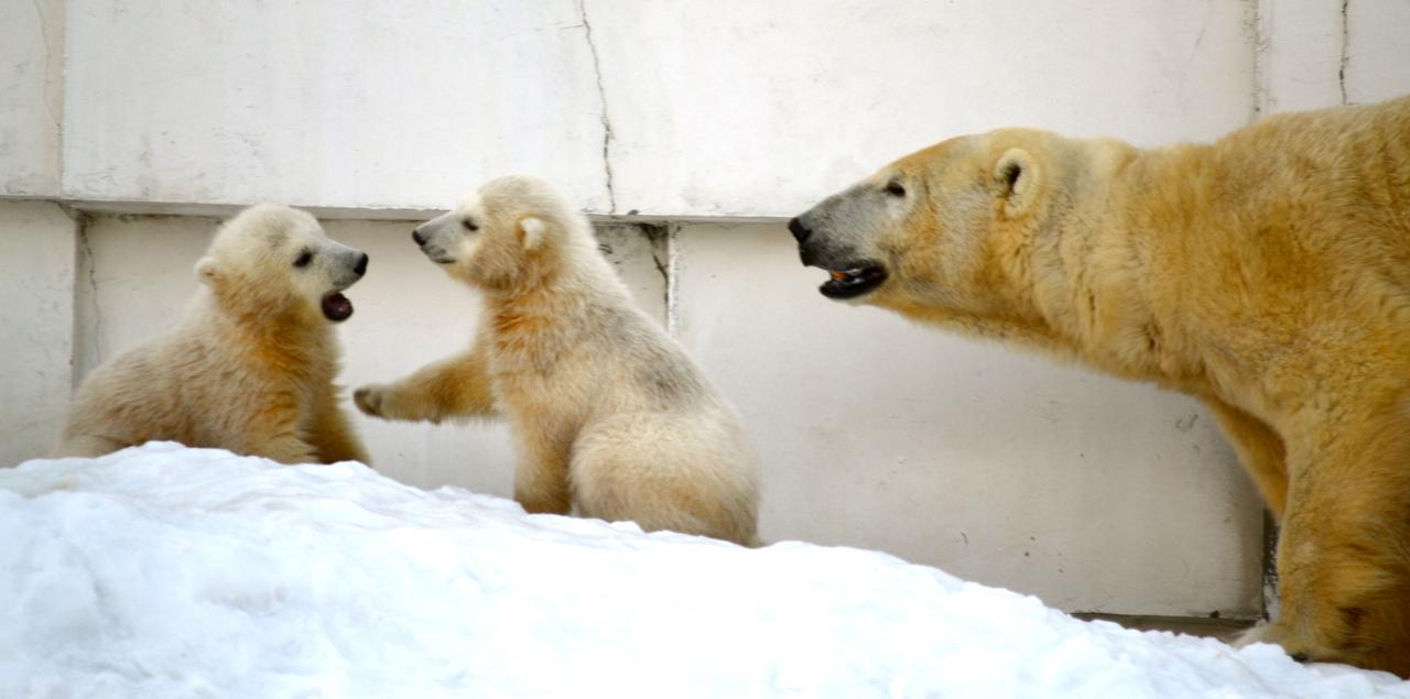 Twin polar bears play at the Maruyama Zoo in Sapporo